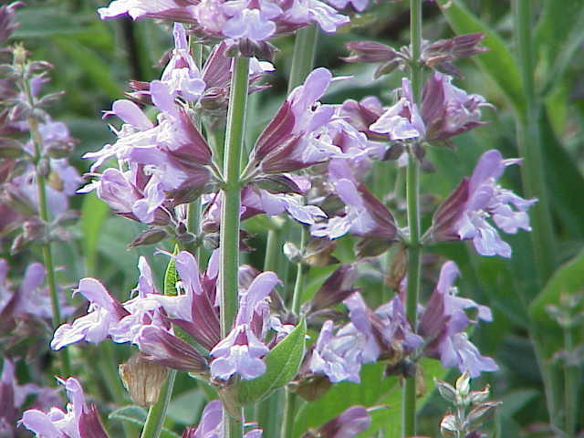 FIORE UTILE Salvia_officinalis0