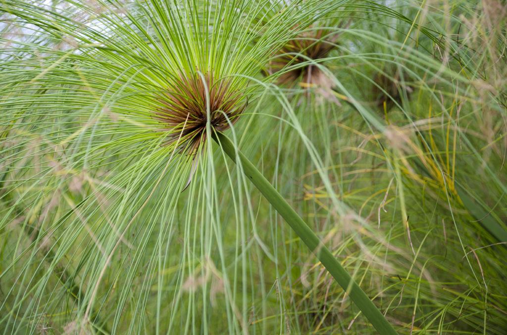 Echter Papyrus (Cyperus papyrus)