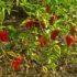 Peperoncino: dalla coltivazione alla lotta biologica