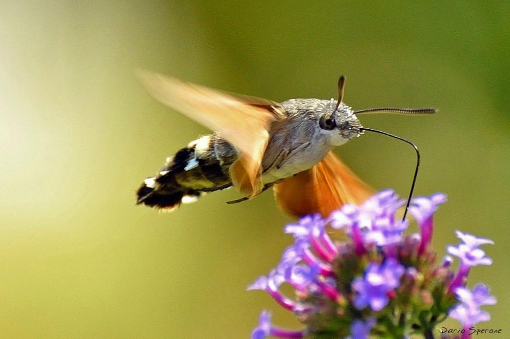 farfalle falena colibrì
