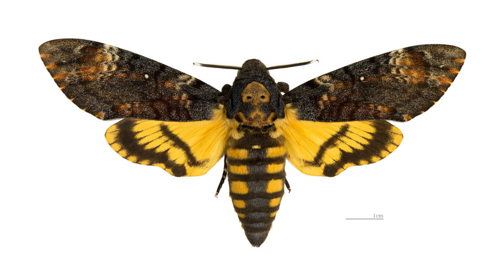 farfalle falena tigrata