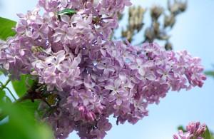 farfalle lilla