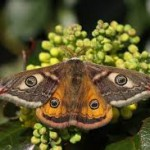 farfalle pavonia