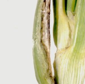 peronospora orto di giugno