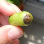 Malattie del pomodoro: come curare il marciume apicale