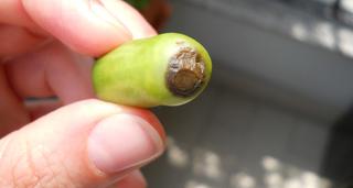 marciume pomodoro