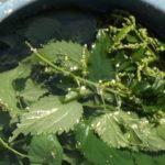 Macerato di ortica: preparazione e uso nella lotta biologica