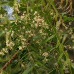 L'olio di Neem e la lotta biologica nell'orto e nel giardino
