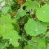 Cavolaia: lotta biologica con tanaceto e assenzio