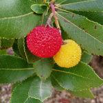 Corbezzolo : proprietà, coltivazione e le ricette