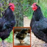 Come adottare e allevare le galline ovaiole