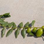 Giuggiole : dalla coltivazione alla tavola