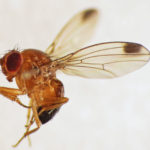 Drosophila_suzukii