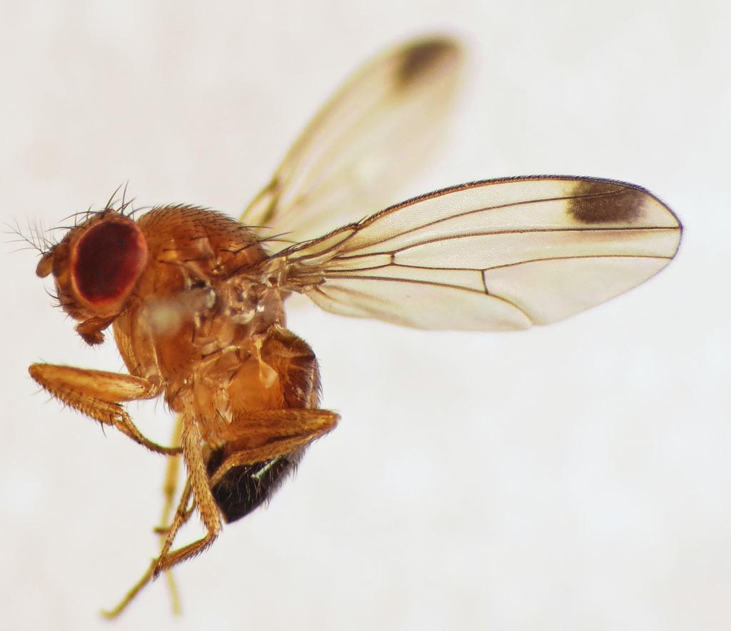 Drosophila_suzukii