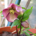 Ellebori: cultivar di Helleborus orientalis 2
