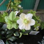 Ellebori: Helleborus nigra fiore e seme