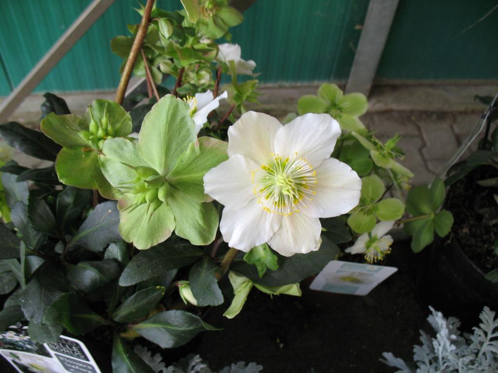 Helleborus nigra fiore e seme
