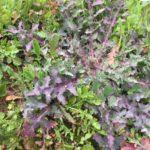erbe selvatiche commestibili di Febbraio