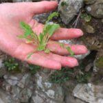 erbe selvatiche commestibili di Febbraio papavero