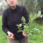 erbe selvatiche commestibili di Febbraio rafano