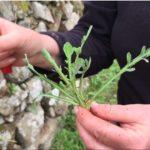erbe selvatiche commestibili di Febbraio romolaccio 2