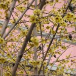 Calycanthus fiori e frutti Copyright M. N. Batini