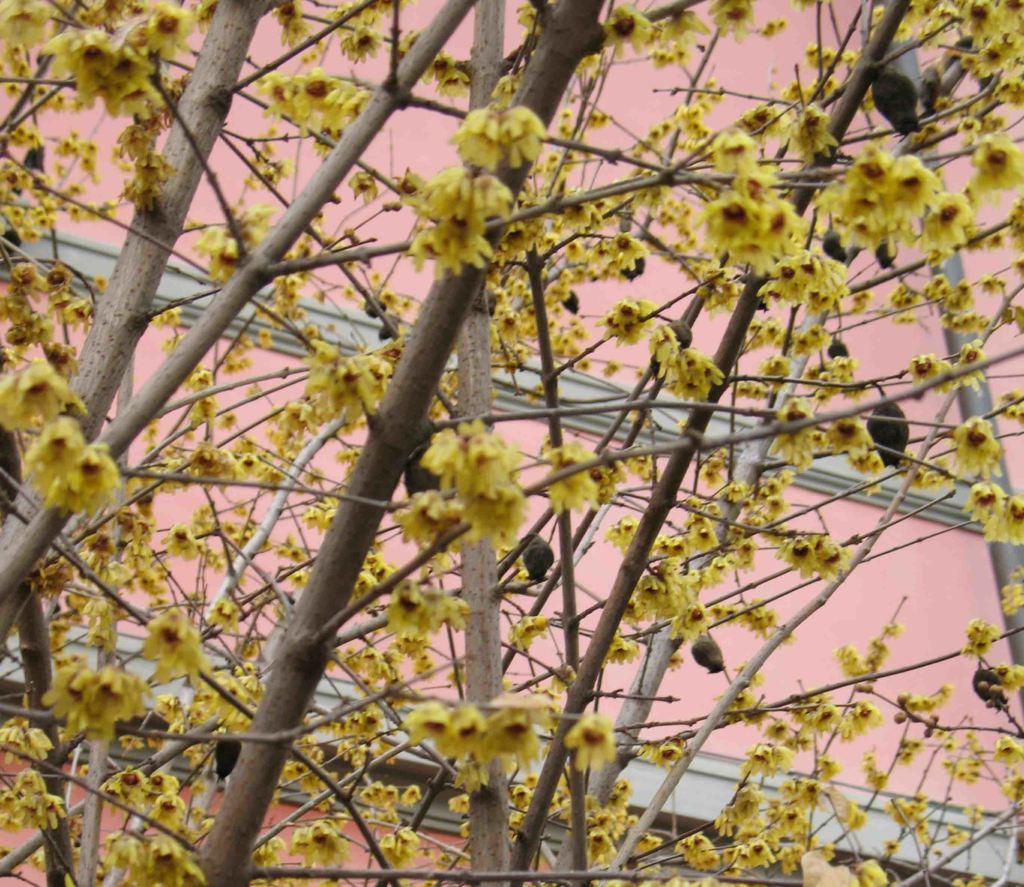 Piante profumate calycanthus fiori e frutti 5 for Piante e fiori