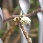 piante profumate Hamamelis boccio 4