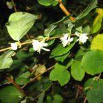 piante profumate Lonicera fragrantissima 3