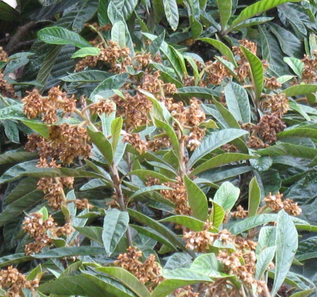 piante profumate Nespolo Giappone 2
