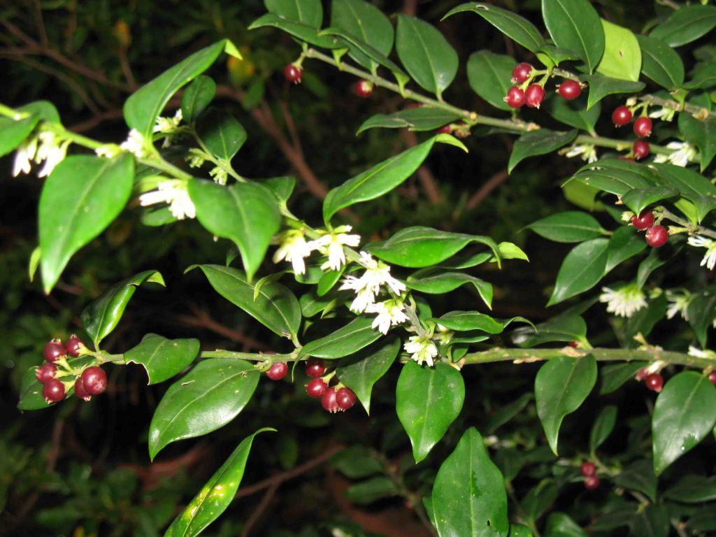 piante profumate Sarcococca confusa