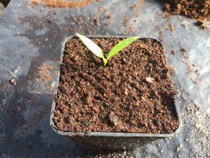 Video guida della semina del peperoncino bio e suo travaso!