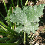 Come usare lo zolfo nell'orto e nel giardino biologico
